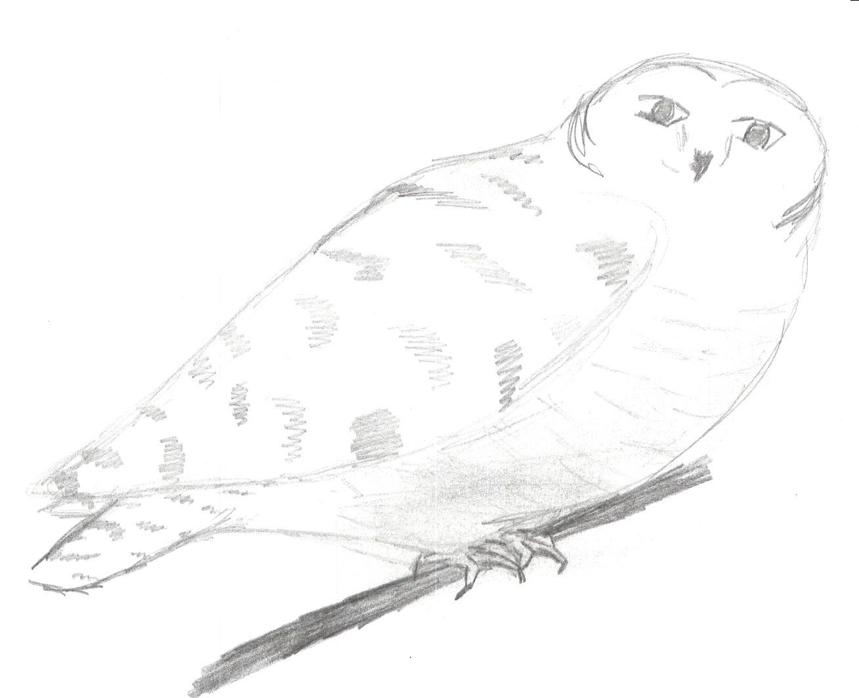 Hedwig by BlackRose_Archer