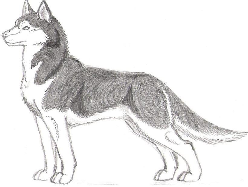 Siberian Husky by Dracoanimegurl
