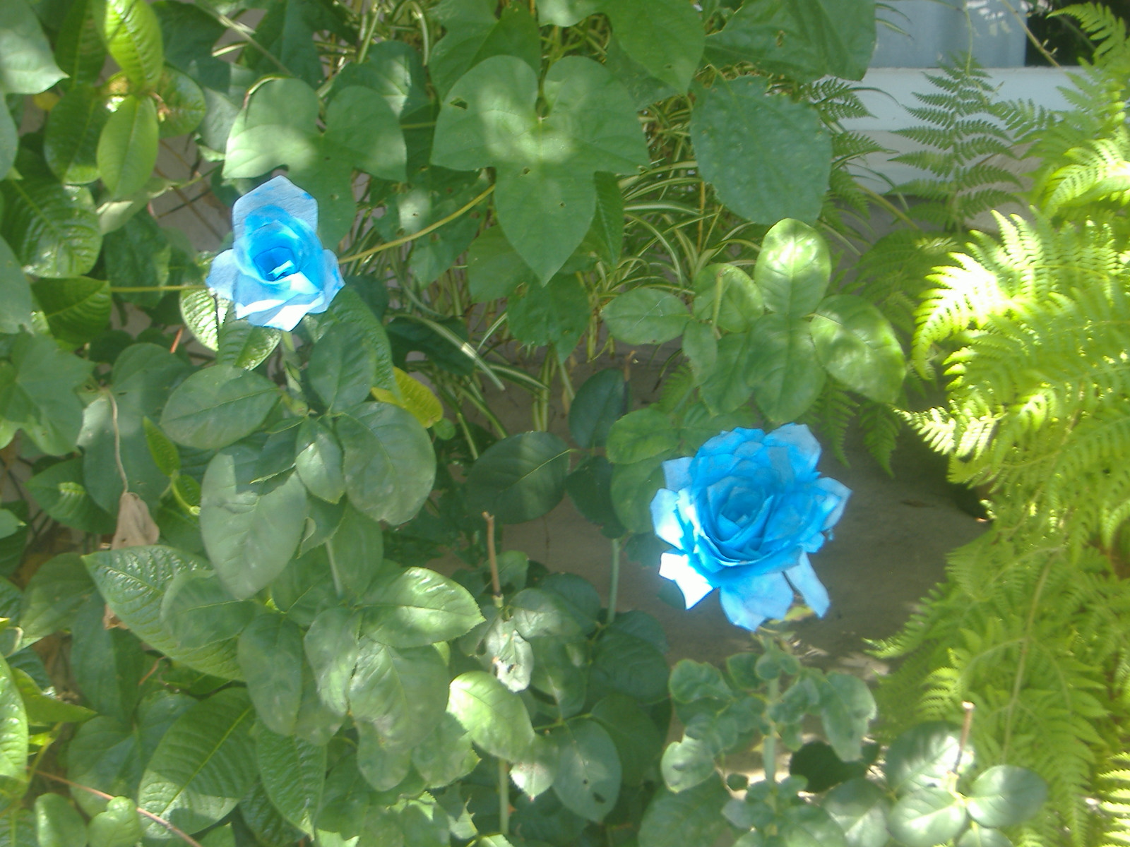 Blue roses by Hobz_the_destroyer